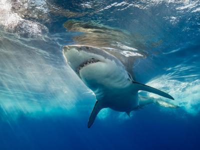 Great White Shark Underwater at Guadalupe Island, Mexico by Wildestanimal