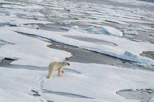 Polar Bear Walking across a Vast Expanse of Ice Floes North of Svalbard in the Arctic Ocean. by Wildestanimal
