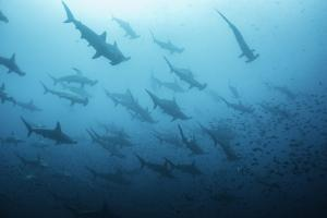 Underwater View of Scalloped Hammerhead Sharks Swimming in the Waters off Darwin Island, Galapagos by Wildestanimal