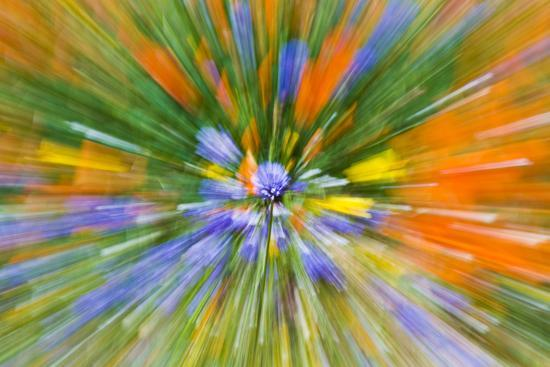 Wildflower abstract, Tehachapi Mountains, Angeles National Forest, California, USA-Russ Bishop-Premium Photographic Print