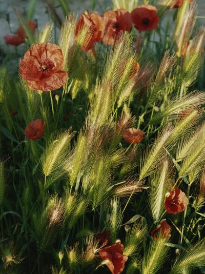 Wildflowers and Grass Tufts in Provence-Nicole Duplaix-Photographic Print