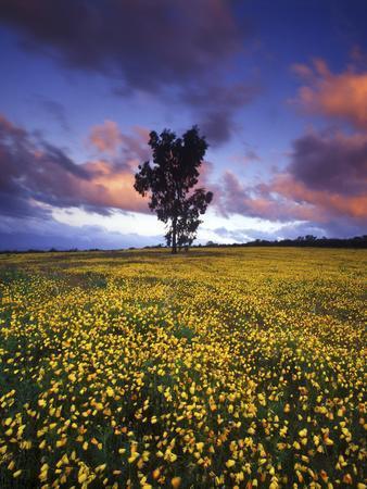 https://imgc.artprintimages.com/img/print/wildflowers-and-lone-tree-at-pakhuis-pass-cederberg-wilderness-area_u-l-pu761u0.jpg?p=0