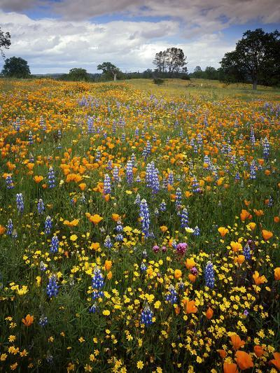 Wildflowers, Avenales Wildlife Area, Shell Creek Road, California, USA-Charles Gurche-Photographic Print