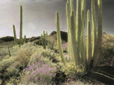 Wildflowers Bloom Among Cactus in a Desert Landscape-Annie Griffiths Belt-Photographic Print