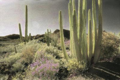 Wildflowers Blooom Among Cactus in a Desert Landscape-Annie Griffiths-Photographic Print