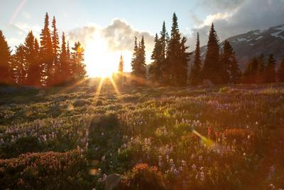 https://imgc.artprintimages.com/img/print/wildflowers-cover-a-landscape-on-mount-rainier-as-the-sun-sets-behind-evergreen-trees_u-l-pswcl80.jpg?p=0