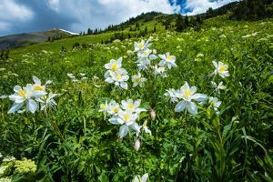 Wildflowers Growing in a Field, Crested Butte, Colorado, USA