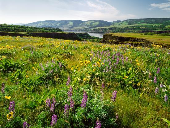 Wildflowers in a field, Columbia River, Tom McCall Nature Preserve, Columbia River Gorge Nationa...--Photographic Print