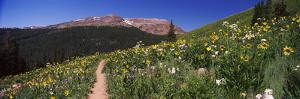 Wildflowers in a Field, West Maroon Pass, Crested Butte, Gunnison County, Colorado, USA