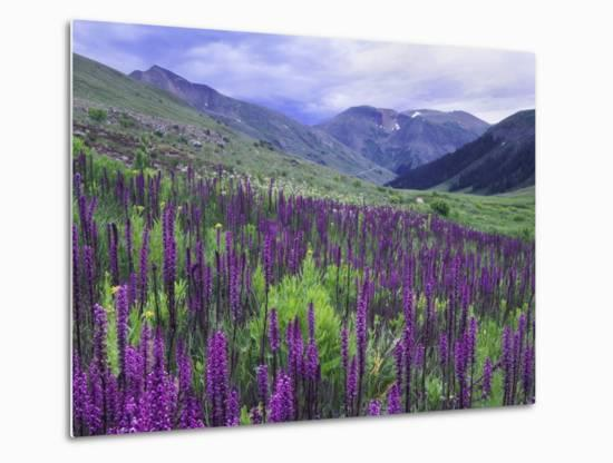 Wildflowers in Alpine Meadow, Ouray, San Juan Mountains, Rocky Mountains, Colorado, USA-Rolf Nussbaumer-Metal Print