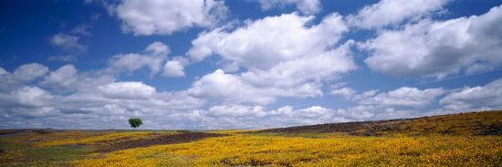 Wildflowers in Bloom, Table Mountain, Oroville, California, USA--Photographic Print