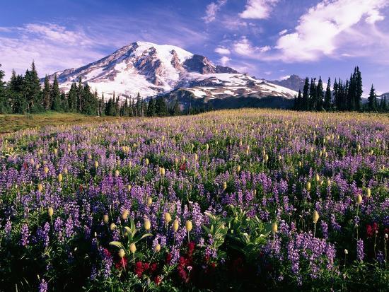 Wildflowers in Mt. Rainier National Park-Stuart Westmorland-Photographic Print