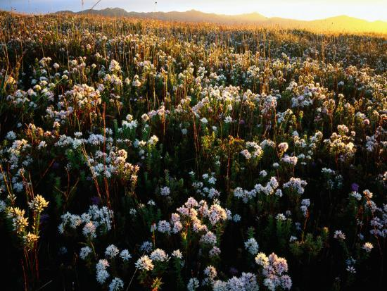 Wildflowers on West Coast-Rob Blakers-Photographic Print