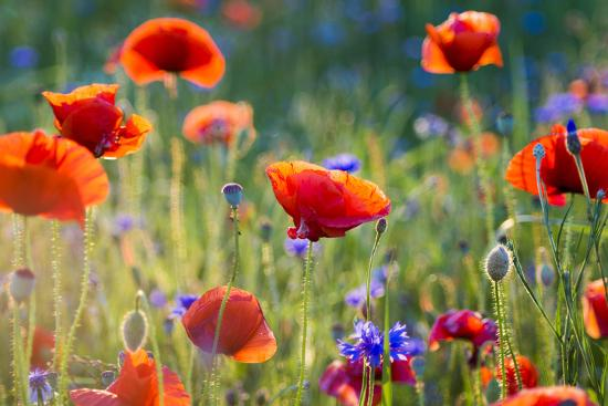Wildflowers Poppies-Mike Mareen-Photographic Print