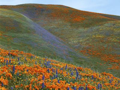 Wildflowers, Tehachapi Mountains, California, USA-Charles Gurche-Photographic Print