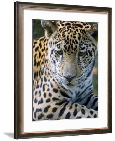 Wildlife in Belize, Jaguar-Jane Sweeney-Framed Photographic Print