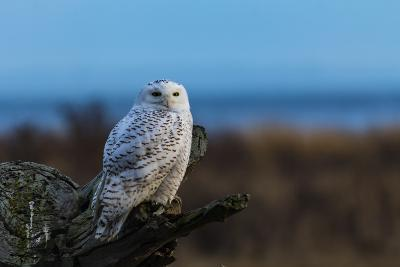 Wildlife in Boundary Bay Series - Beautiful Snowy Owl Sitting on Driftwood at Sunset Time 1- poemnist-Photographic Print