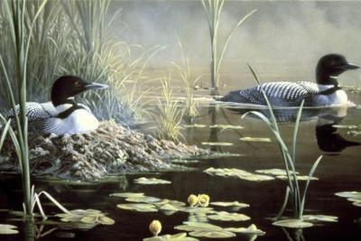 Nesting Loons