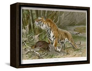 Tiger and Its Freshly Killed Prey a Deer in This Case by Wilhelm Kuhnert