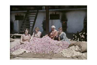 Bulgarian Women Seated around a Pile of Rose Petals for Distillation