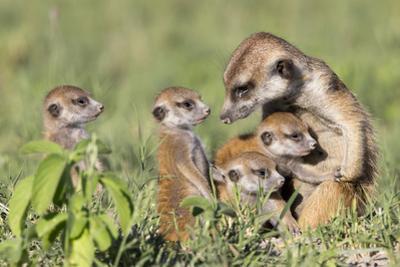 Meerkat (Suricata Suricatta) Adult With Babies, Makgadikgadi Pans, Botswana by Will Burrard-Lucas
