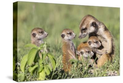 Meerkat (Suricata Suricatta) Adult With Babies, Makgadikgadi Pans, Botswana