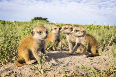 Meerkat (Suricata Suricatta) Babies, Makgadikgadi Pans, Botswana by Will Burrard-Lucas