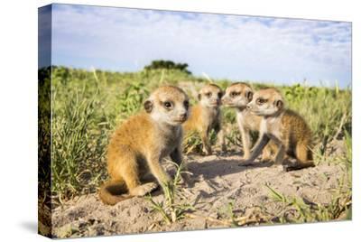 Meerkat (Suricata Suricatta) Babies, Makgadikgadi Pans, Botswana