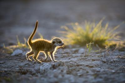 Meerkat (Suricata Suricatta) Baby Walking, Makgadikgadi Pans, Botswana by Will Burrard-Lucas