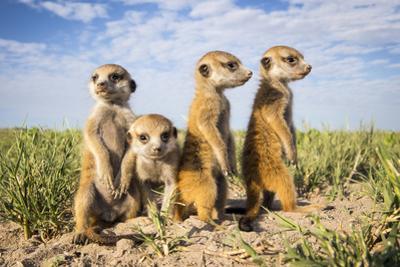 Meerkat (Suricata Suricatta) Group Of Babies, Makgadikgadi Pans, Botswana by Will Burrard-Lucas