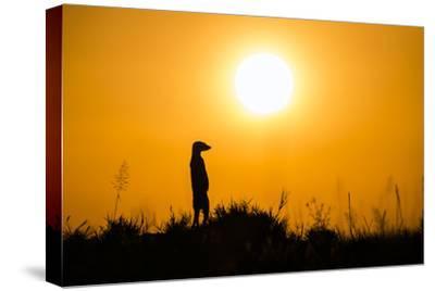 Meerkat (Suricata Suricatta) Standing Alert On Hind Legs At Sunset, Makgadikgadi Pans, Botswana
