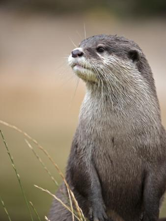 England, Leicestershire; Short-Clawed Asian Otter at Twycross Zoo Near the National Zoo
