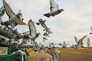 Homing Pigeons Fly Out of a Truck by Will Van Overbeek