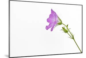 Single Flower on White Background by Will Wilkinson