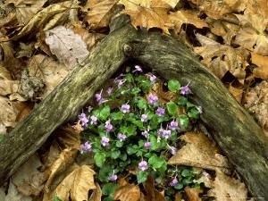 Blue Violets, Great Smoky Mountains National Park, TN by Willard Clay