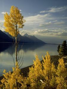 Evening Light on Aspen Trees Along the Shore of Jackson Lake, Wyoming by Willard Clay