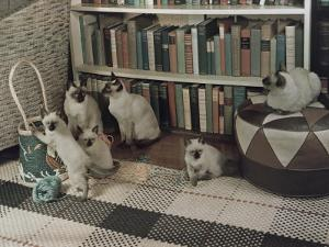 Adult Siamese Cats Watch as their Young Play with Yarn by Willard Culver