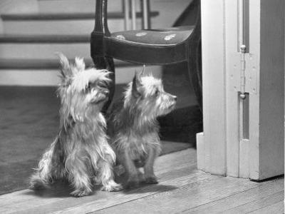Australian Silky Terriers are Rare in the United States by Willard Culver