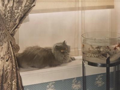Blue Persian Cat Stares Intensely at Goldfish in a Bowl by Willard Culver