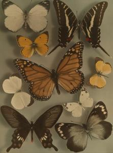 Collection of Butterflies by Willard Culver