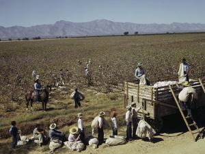 Mexican Cotton Pickers Work in the Fields by Willard Culver