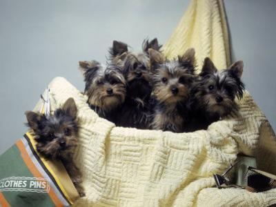 Portrait of Yorkshire Terrier Puppies Sitting in a Basket by Willard Culver