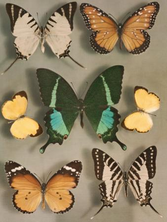 Swallowtail Butterflies of Siam and India by Willard Culver