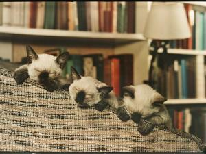 Three Siamese Kittens Take a Nap by Resting Their Heads on the Arm of a Padded Chair by Willard Culver