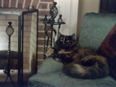 Tortoiseshell Persian Cat Reclines on a Sofa by Willard Culver