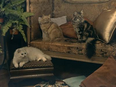 Trio of Persian Cats Recline on the Furniture by Willard Culver