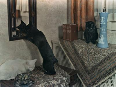 Trio of Tailless Manx Cats Play on House Furniture by Willard Culver