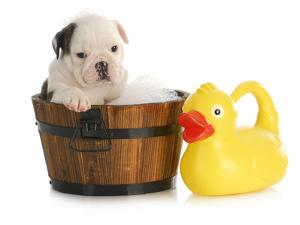 Puppy Bath Time - English Bulldog Puppy In Wooden Wash Basin With Soap Suds And Rubber Duck by Willee Cole