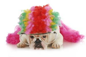 Silly Dog - English Bulldog Dressed Up Like A Clown On White Background by Willee Cole