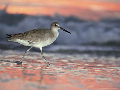 Willet, Florida, USA-Olaf Broders-Photographic Print